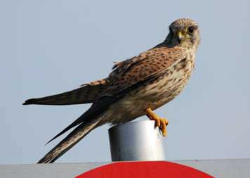 photo (8KB) : Figure 2 : A kestrel